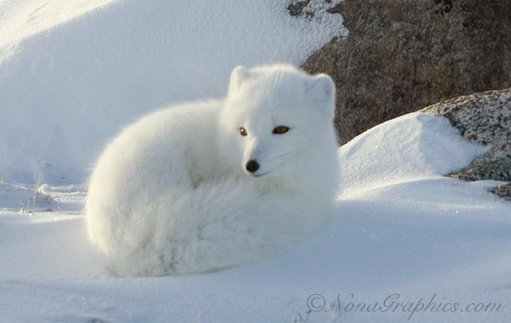 arctic fox animal animals tundra sleeping snow foxes artic snowy camouflage winter polar nice pet creatures why watashino sekaii pose