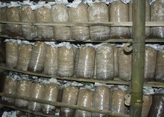 pembuatan media (baglog) jamur tiram, merang, kuping, shitake, eryngi