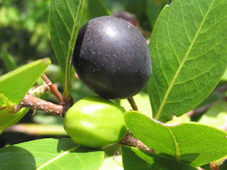 coco plum fruit images