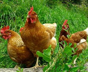 Daftar Harga Ayam Petelur Terbaru