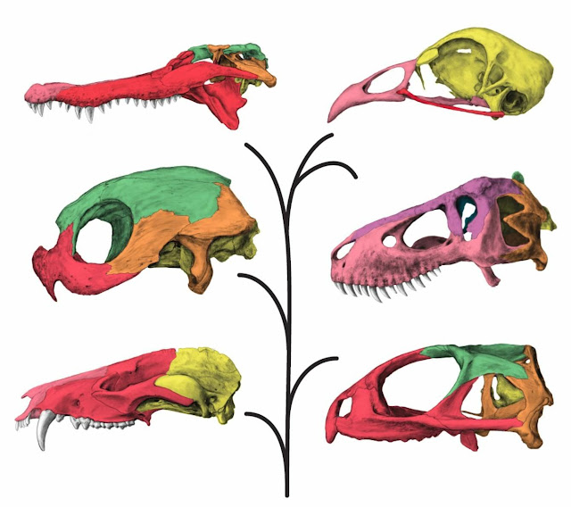 T. rex had an unusually flexible skull