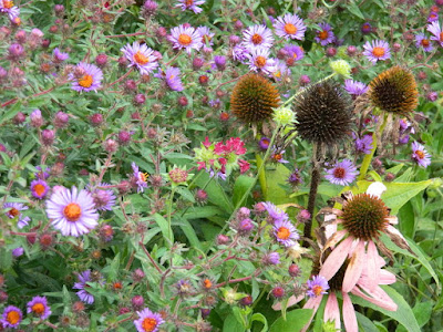 Autumn New England Asters and Purple Coneflowers at the Toronto Botanical Garden's Perennial Borders by garden muses--not another Toronto gardening blog