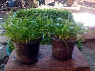 Tanaman Lilaeopsis Cup Bulat Alamikan