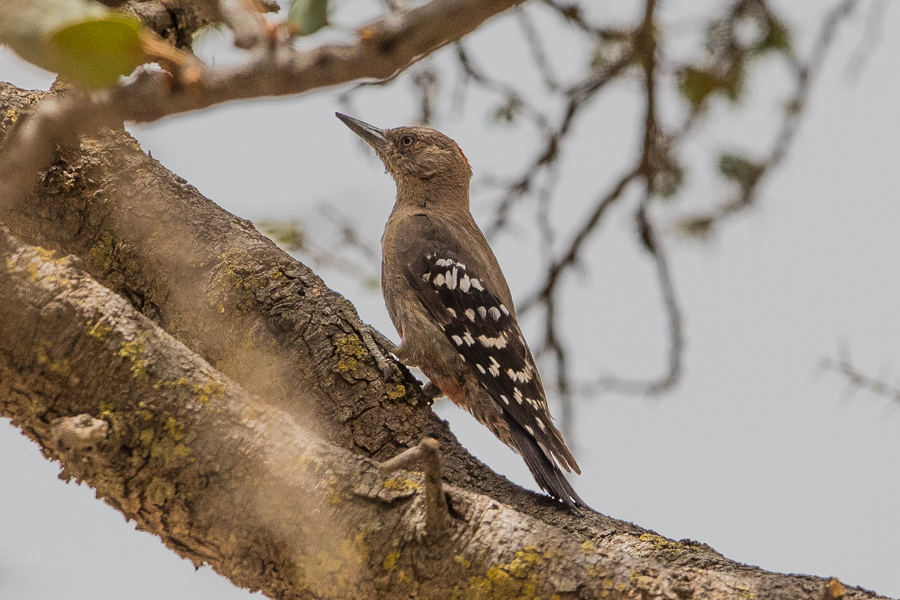 Arabian Woodpecker - Dendrocopos doraeat