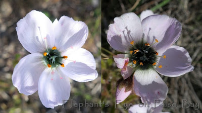Drosera cistiflora sundew