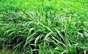 Hasil gambar untuk Rumput benggala
