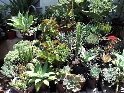 Plantas morenal for Plantas medicinales y ornamentales