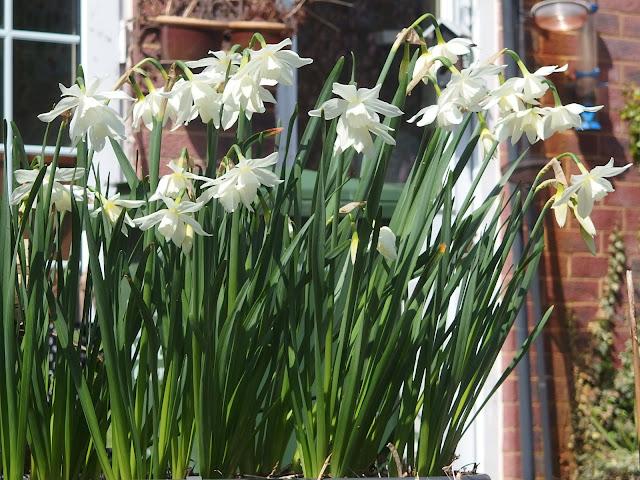 Talia daffodils brightening up VP Gardens