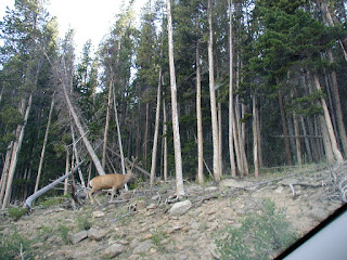 Young bull elk.