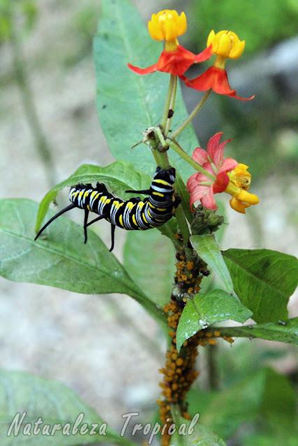Planta Flor de Sangre (Asclepias curassavica) siendo atacada gravemente por pulgones y una oruga