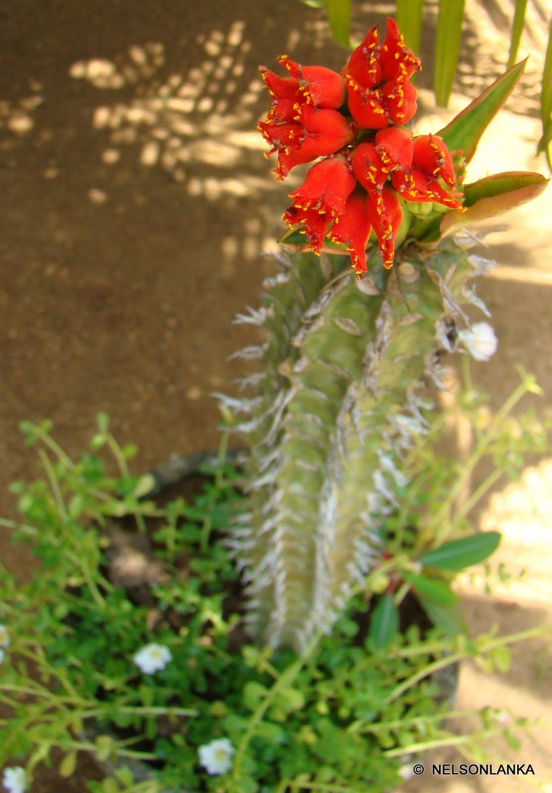 Discover srilanka sri lanka flowers cactus