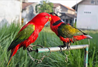 Ternak-Burung-Nuri