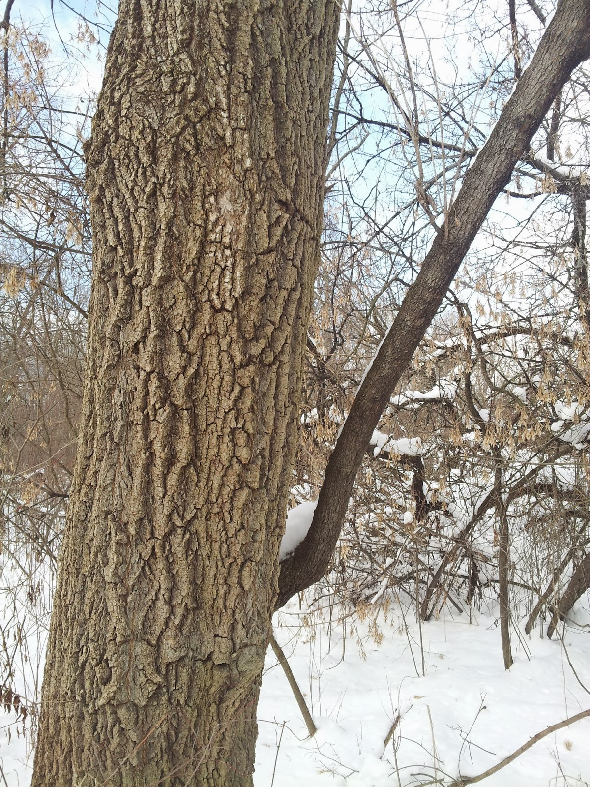 Clifton Park Open Spaces Winter Tree Identification Quiz