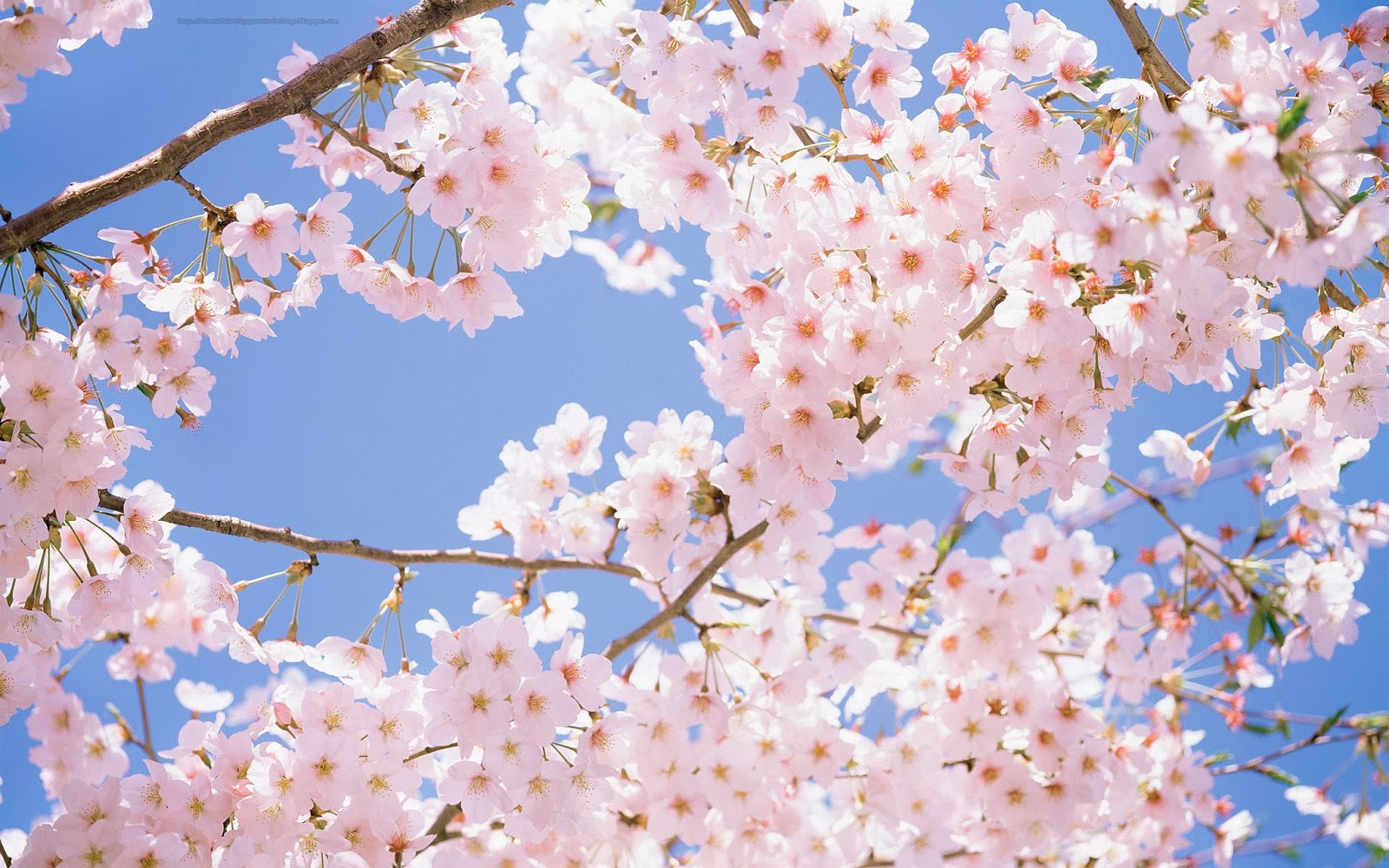 Beautiful Wallpapers For Desktop: Cherry Blossom wallpapers hd