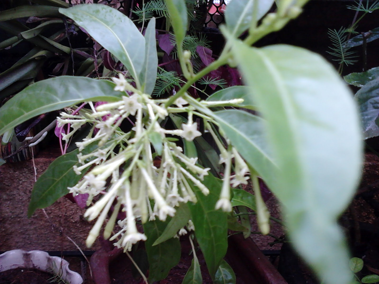 Garden care simplified night blooming jasmine raat ki rani cestrum drooping bunches of heavenly fragrant raat rani flowers izmirmasajfo