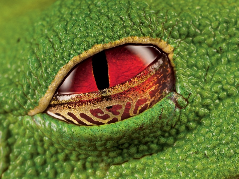 The 100 best photographs ever taken without photoshop - The scarlet eyes of a warty tree frog, Costa Rica
