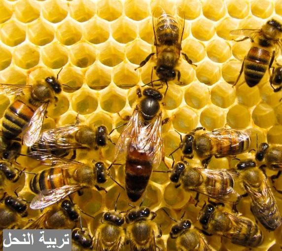 النحل,تربية النحل,العسل,نحل,خلية نحل,ملكة النحل,عالم النحل,خلية النحل,مملكة النحل,تلاوة,الشيخ,اناشيد,سورة,النحلة,ملكة,فيديو,منحل,شمع النحل,شيخ,عسل,الحامل,أمام النحل,امام النحل,سورة النحل,حلقة النحل,الحلقة 3,طلح النخل,النحل التلي,رقصات النحل,نحلة,الأم