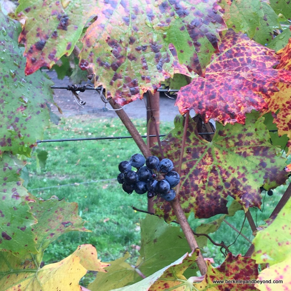 colorful pinot noir grapes on the vine in Willamette Valley in Oregon