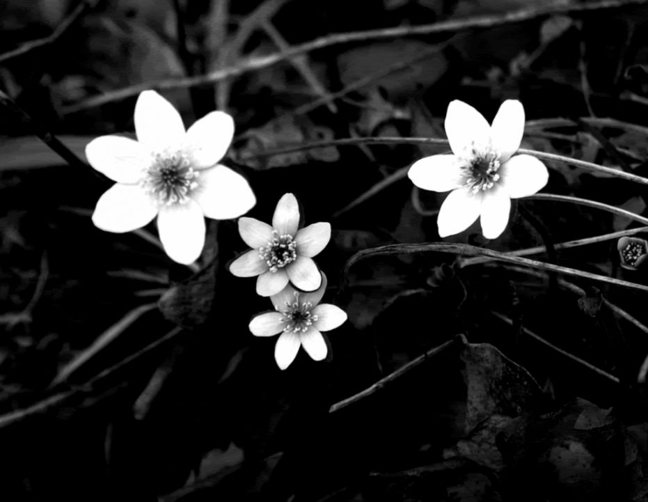Black And White Flower Wallpaper Barong Wallpapers