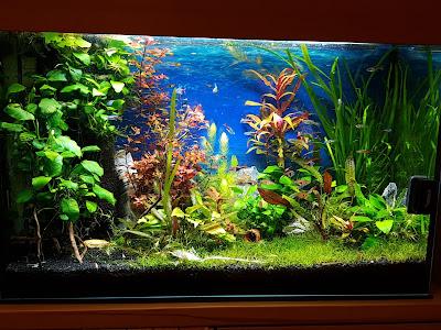 Aquarienpflanzen in 4100 Ottensheim abzugeben. Anubia, Hornkraut..