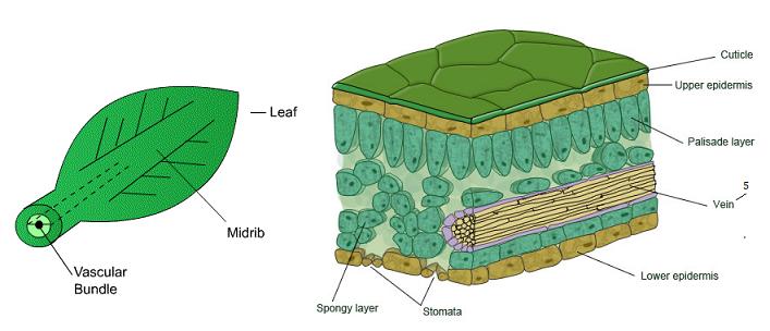 Animal Models for Vascular TissueEngineering