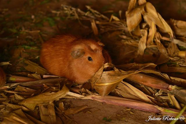 Cochon d'Inde au Pérou