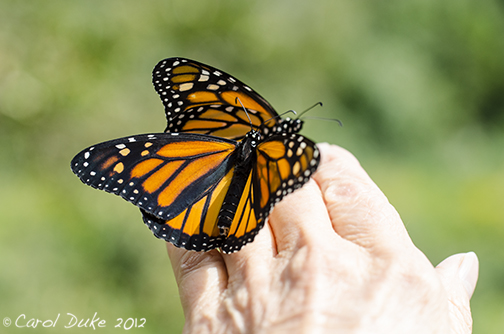 cc0a6c580 Monarch Butterfly Life Cycle: A Metamorphosis ~ Part Four ~ Lift Off ...