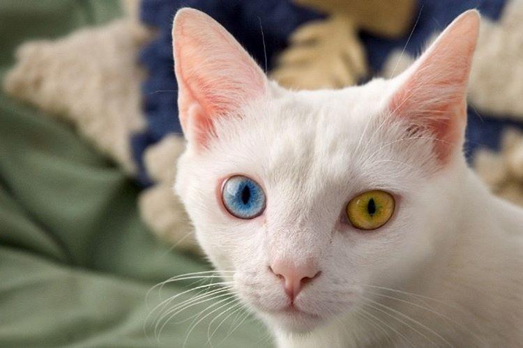 Kedilerin gece görüşleri insanlarınkinden 6 kat daha güçlüdür.