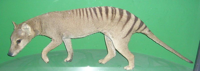 Life In The Cenozoic Era Tasmanian Thylacine Thylacinus Cynocephalus