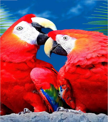 red-parrot-kissing-wallpapers