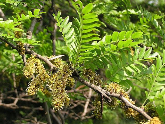 Hoa cây BỒ KẾT - Gleditschia australis - Nguyên liệu làm thuốc Chữa Ho Hen