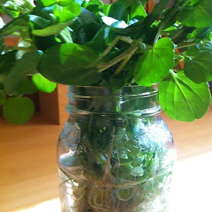 Organic wild watercress in a jar