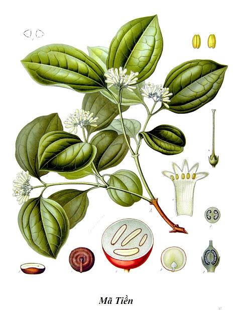 Hình vẽ Cây Mã Tiền - Chế Curarơ - Nguyên liệu làm thuốc Có Chất Độc