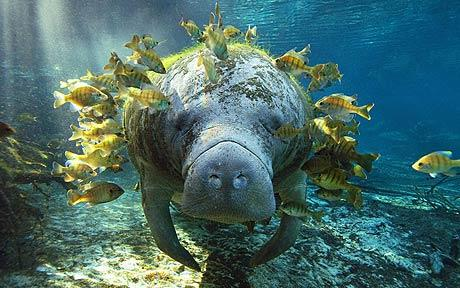 West indian manatee life of sea for Fish that eat dead skin