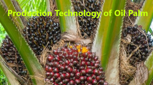 How to Grow Oil Palm