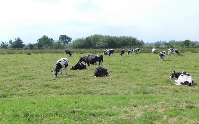 Foto met Friese koeien in het weiland
