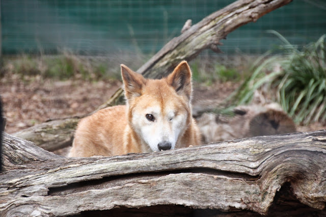 Dingo, Moonlit Sanctuary
