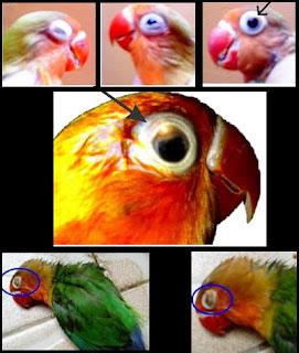 Cara Mengobati Penyakit Mata (Snot) Pada Lovebird