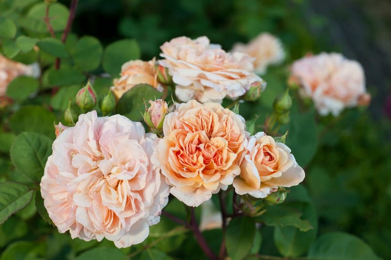 Rosa 'Abraham Darby´