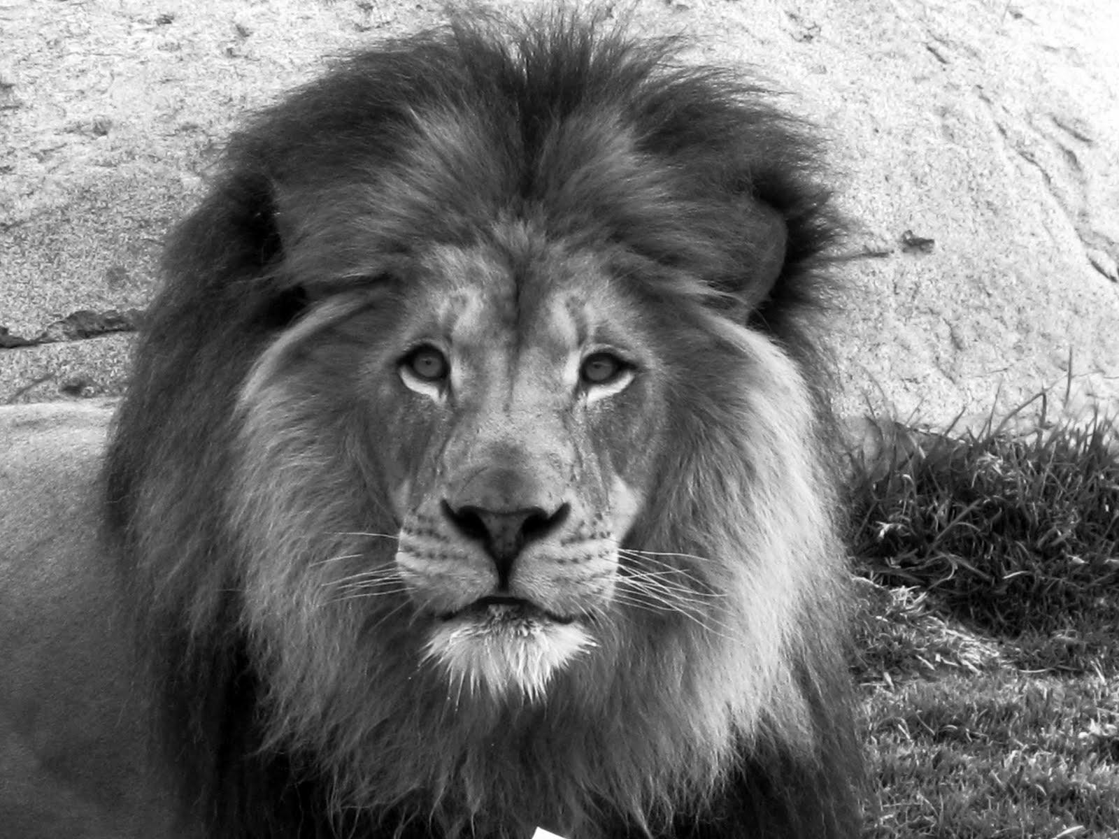 Random Ramblings: My Lion
