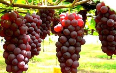 manfaat buah anggur untuk kecantikan wajah