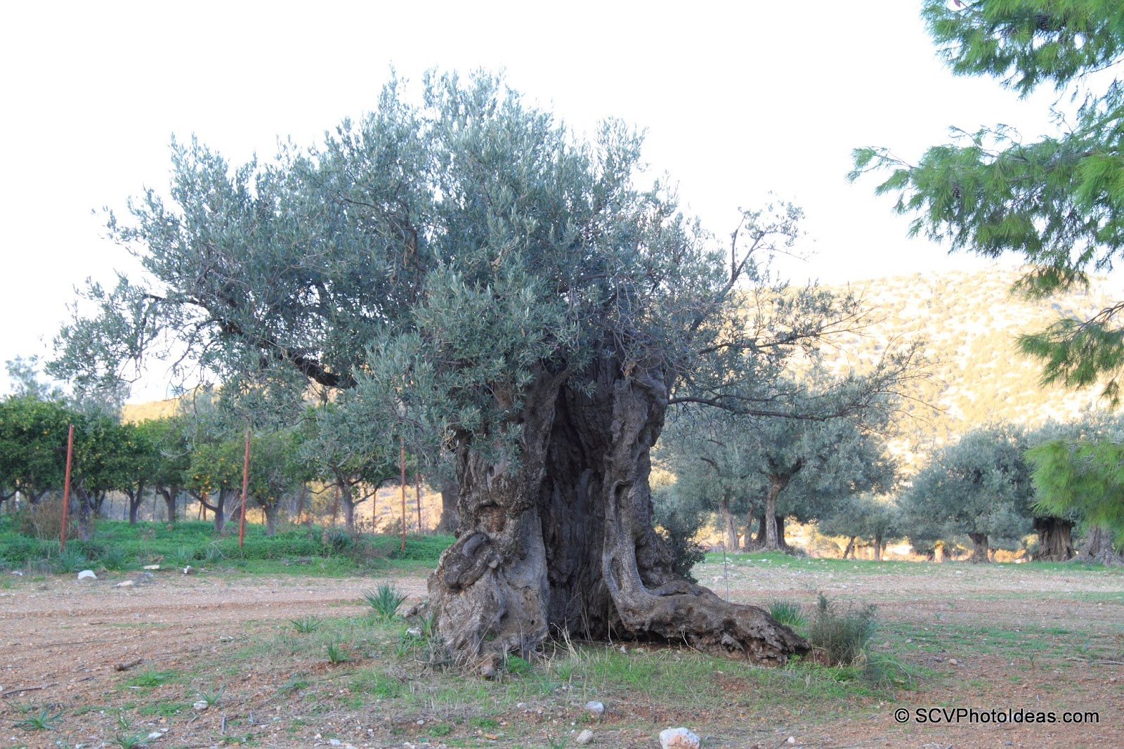 Ancient Olive with large man-size cavity