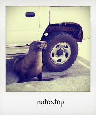Leone marino in un parcheggio alle Galapagos
