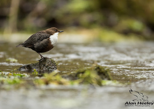 Derbyshire Dippers