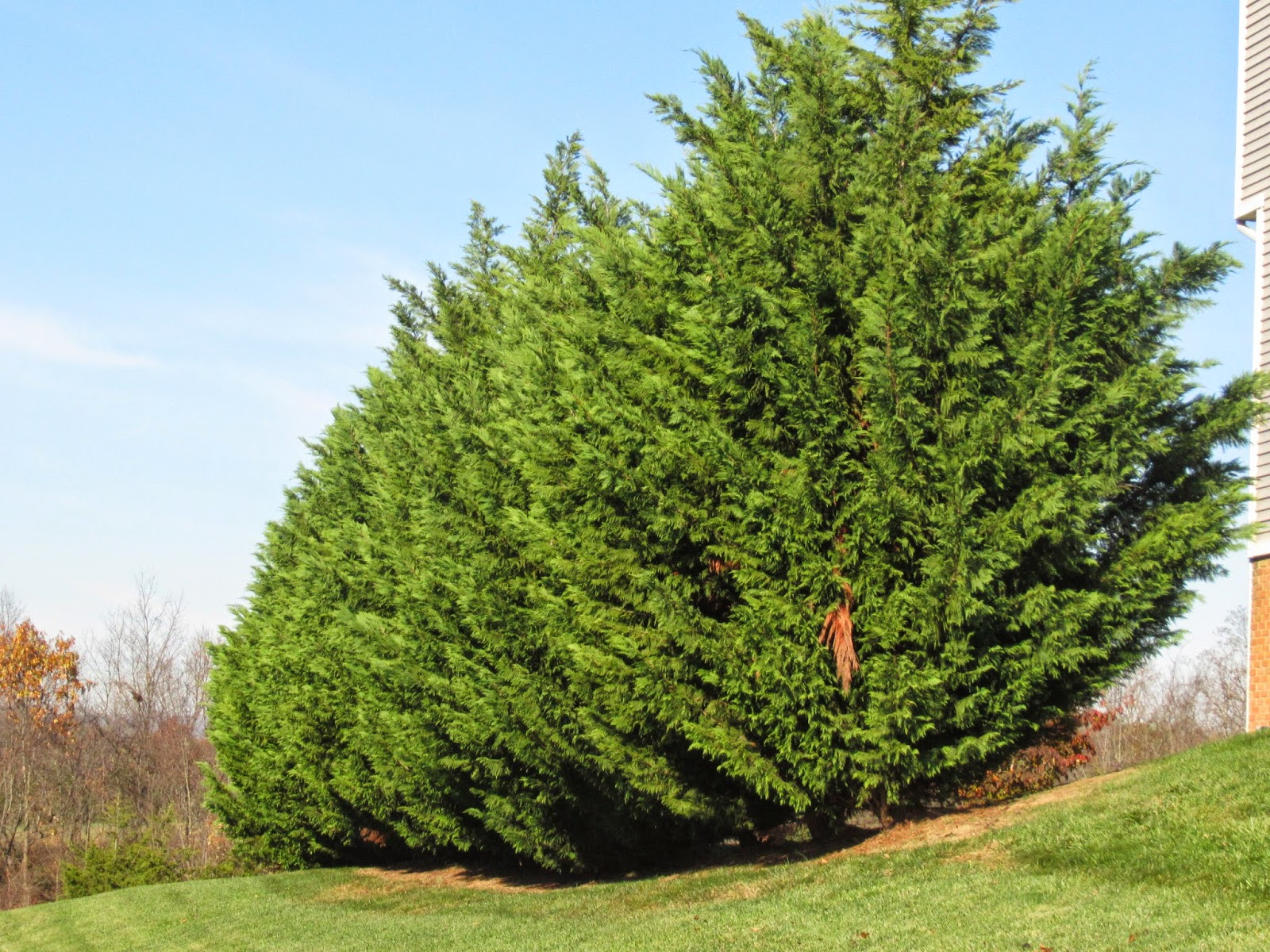Are There Overhead Electric Wires That Will Require The Leyland Cypress To Trimmed And Topped By Companies Right Away Tree Trimmers In Clear