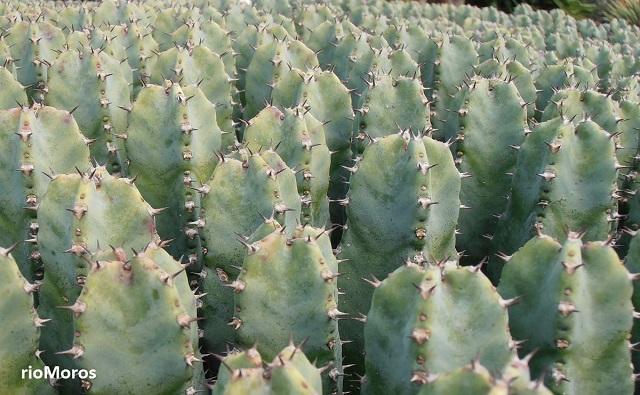 EUFORBIA RESINÍFERA Euphorbia resinifera