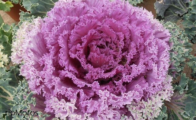 COL DE JARDÍN Brassica oleracea