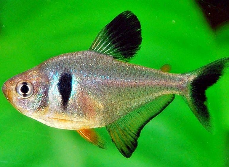 Gambar Ikan Hias Jenis Tetra