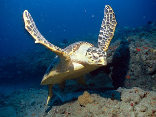 A hawksbill sea turtle swims around the coral reef.