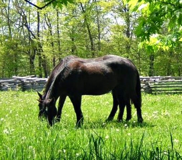 Black Horses in Pasture Image for Download.